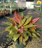 Aglaonema Tropic Passion chinese evergreen