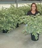 Ficus Starlite 10in