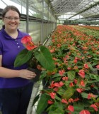 Flowering Anthurium Red Victory