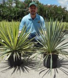 Yucca Variegated