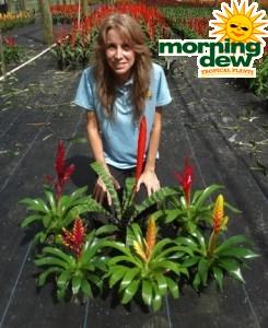 Bromeliad Vriesea Assorted