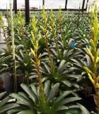 Bromeliad Vriesea Seeger