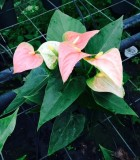 Flowering Anthurium Prince of Orange Bloom