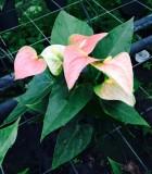 Flowering Anthurium Prince of Orange Bloom