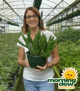HB Cactus Stapelia 8 in