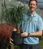 Ponytail Guatemalan palm