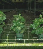 Topiary Ivy