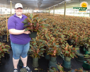 Aglaonema Siam 8 in