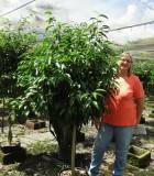 Ficus Amstel King Mini tree