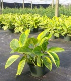 Ficus Altissima Golden Gem