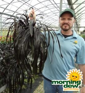 Bromeliad Aechmea BlackJack