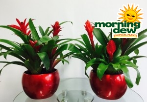 Bromeliad Christmas Bowls