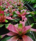 Bromeliad Neoregelia Taffy