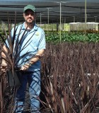 Cordyline Black Knight