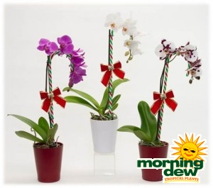 Flowering Orchid Phalaenopsis
