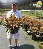 Aglaonema Siam 10 in