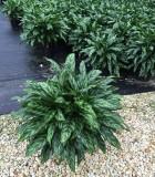 Aglaonema Super Maria chinese evergreen