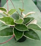 Hoya Tricolor