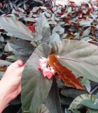 Begonia Angel Wing Torch