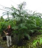 Palm Chamaedorea Hooperiana