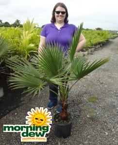 Washingtonia Robusta Palm