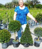 Topiary Eugenia Assorted