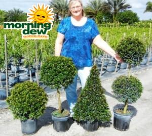 Topiary Eugenia Assorted