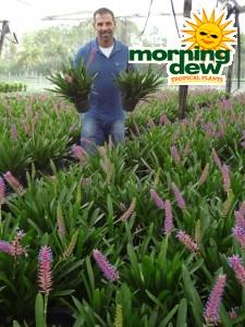 Bromeliad Aechmea Matchsticks
