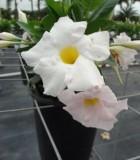 Dipladenia Sundenia White Bloom