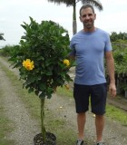 Flowering Hibiscus Braid Yellow Double 12 in