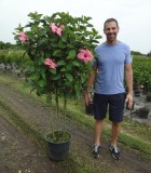 Flowering Hibiscus Standard Multi 14 in