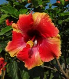 Flowering Hibiscus Bloom Fiesta