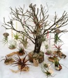 Bromeliad Tillandsia Exotic Assortment 6 in