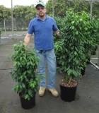 Ficus Spire