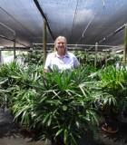 Palm Rhapis Hawaiian