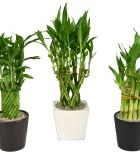 Dish Garden Lucky Bamboo