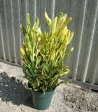 Croton Banana