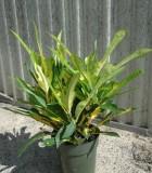 Croton Brazil