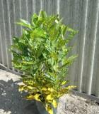 Croton Gold Dust