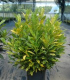 Croton Gold Dust 8 in