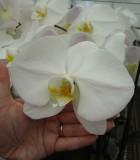 Orchid Phalaenopsis White Swan flower