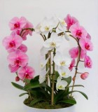 Orchid phalaenopsis Fountain