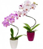 Orchid phalaenopsis Twist Innovation