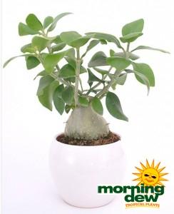Hydnophytum Papuanum ant plant