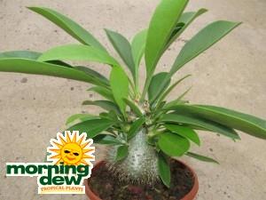 Myrmecodia Beccarii ant plant