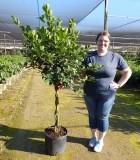 Ficus Moclame Braid