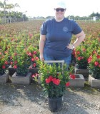 Flowering Mandevilla Red Flaming 10 in