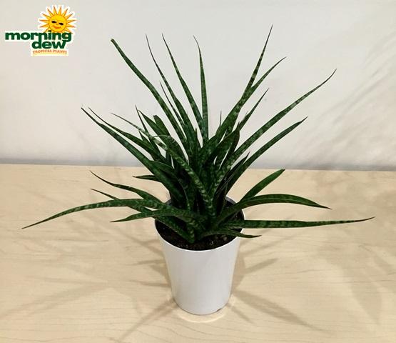 Plants Morning Dew Tropical Plants