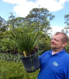 Cyperus Papyrus grass