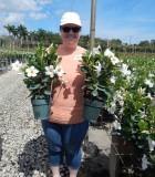 Flowering Mandevilla White 6 in